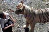 White Tiger Gets Violent