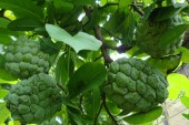 Custard Apples are in Abundance