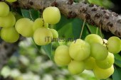 Include Indian Gooseberry in Daily Diet